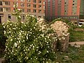 Irish Rose in Manhattan - panoramio.jpg
