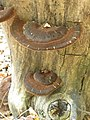Ischnoderma benzoinum 52943271.jpg