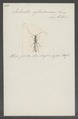 Ischnotes - Print - Iconographia Zoologica - Special Collections University of Amsterdam - UBAINV0274 033 23 0003.tif