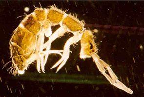 Springschwanz (Isotoma anglicana), etwa 40fach vergrößert. Unter dem Hinterleib sind Ventraltubus (zwischen den Beinen) und Furca sichtbar.