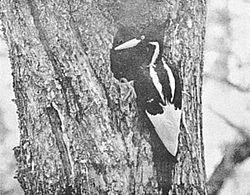 Ivory-billed Woodpecker.jpg