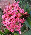 Ixora coccinea flowers at Shilparamam Jaatara.JPG
