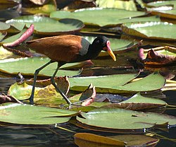 Jacana jacana walking in water.jpg