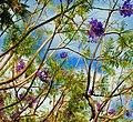 Jacaranda Tree blossom outside El Sombrero, Los Gigantes, Tenerife (4506678538).jpg