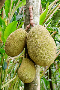 Jackfruit hanging.JPG