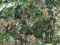 Jamun - Syzygium cumini-1.JPG
