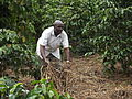 Jimmy mulches his coffee garden.JPG