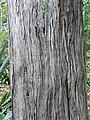 Juniperus cedrus 01 trunk by Line1.jpg