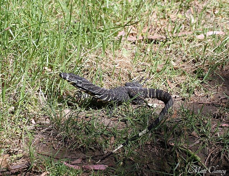 Description Juvenile Lace Monitor  Varanus varius   8398201566  jpgLace Monitor Size