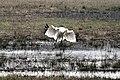 Juvenile Whooping Crane Testing Its Wings (6852824247).jpg