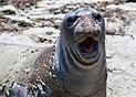 Juvenile elephant seal during molt.jpg