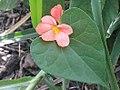 K.Pudur Village Firecracker Flower.jpg