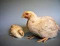 KAGfreiland Hühnervergleich 34.Tag.jpg