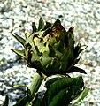 Kardoen (Cynara cardunculus).jpg