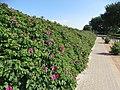Kartoffel-Rosen bei Drei (Glücksburg), Weg oberhalb am Strand lang.jpg