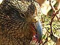 Kea feeding on NZ Fuchsia. (15473203561).jpg
