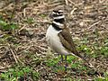 Kildeer at Lake Woodruff - Flickr - Andrea Westmoreland.jpg