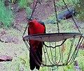 """King Parrot peering into my kitchen ...""""Hellooooooo, anybody in there?"""" - panoramio.jpg"""
