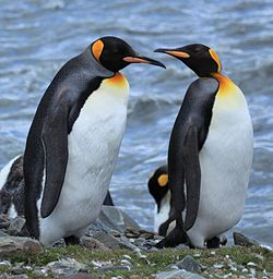 King Penguins at St. Andrews Bay, South Georgia (5817245080).jpg