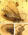 Kinitocelis brevicostata holotype Fig30.jpg