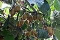 Kiwifruits E1.jpg
