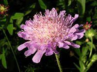 Knautia arvensis20110703 116.jpg