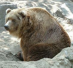 Kodiakbeer.jpg