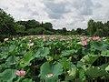 Koga Ibaraki Koga Park Oga lotus 1.JPG