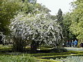 Kolkwitzia amabilis 1.jpg