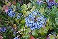 Korina 2011-08-01 Mahonia aquifolium.jpg