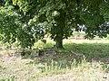 Koronowo - cmentarz ludności żydowskiej - panoramio (14).jpg