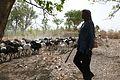 Koumagou-Moutons bicolores (1).jpg