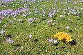 Krokusblüte Drebach. Flächen-Naturdenkmal...IMG 0057BE 01.jpg