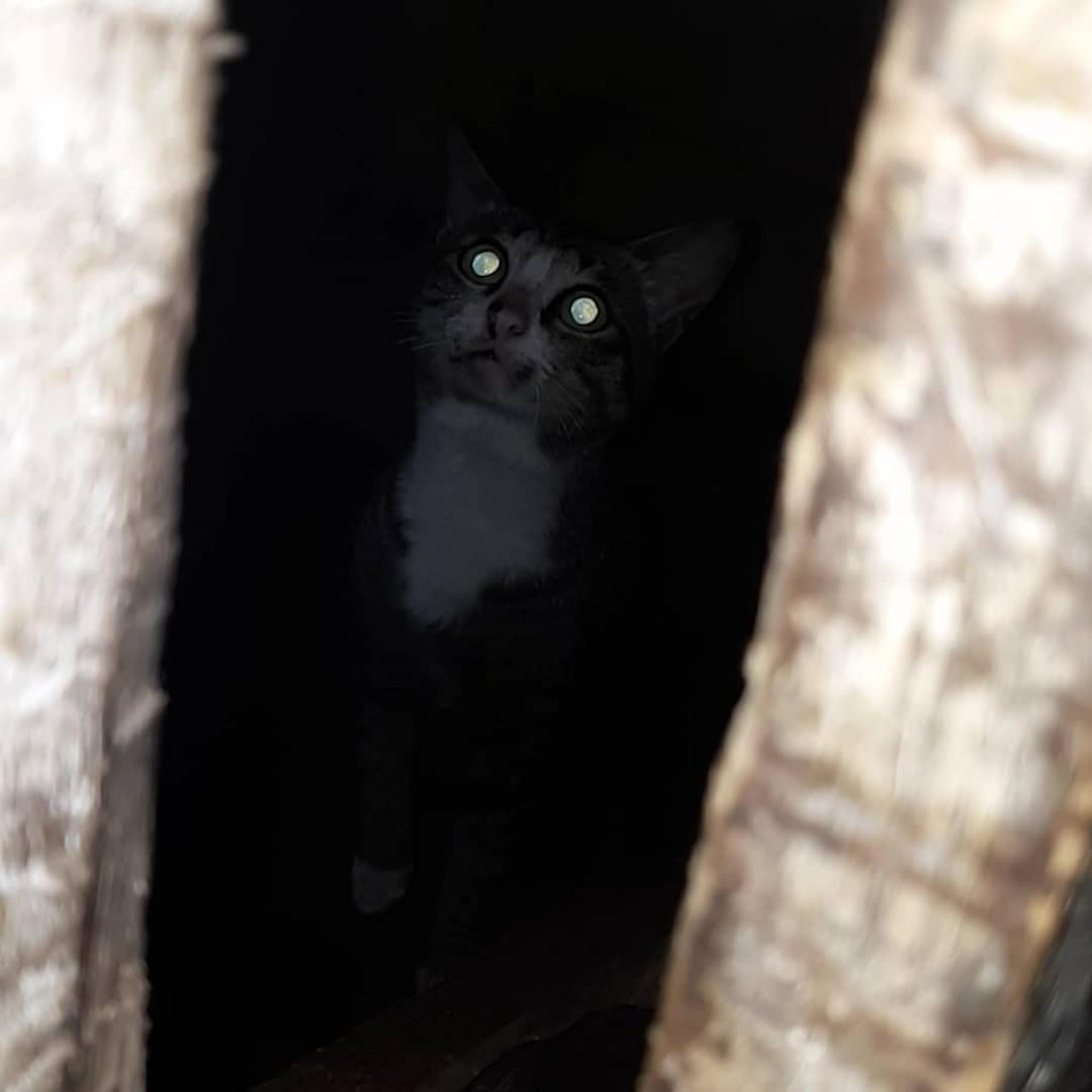 File Kucing Kampung Png Wikimedia Commons