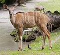 Kudú mayor (Tragelaphus strepsiceros), Tierpark Hellabrunn, Múnich, Alemania, 2012-06-17, DD 01.jpg
