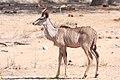 Kudu (Tragelaphus strepsiceros) (8603175063).jpg