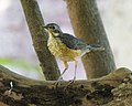 Kurrichane Thrush (Turdus libonyanus) (22252224579).jpg