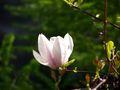 Kwiat Magnolii.JPG