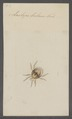 Laelaps - Print - Iconographia Zoologica - Special Collections University of Amsterdam - UBAINV0274 072 03 0002.tif