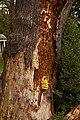 Laetiporus sulphureus (29369486090).jpg