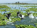 Lake Naivasha National Park - panoramio.jpg