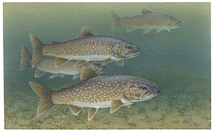 Lake trout - Image: Lake trout fishes salvelinus namaycush