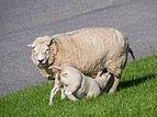 Lamb drinking.jpg