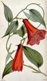 Lapageria rosea CBM.png