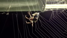 File:Larinioides sclopetarius.webm