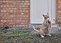 Larry the cat standing on gravel and gently pulling on a wool string in Auderghem, Belgium (DSCF2328).jpg