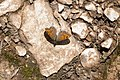 Lasiommata megera - Wall brown.jpg