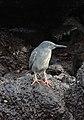 Lava Heron, Santa Fe Island.jpg