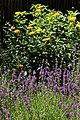 Lavendelbeet im Innenhof 04.jpg