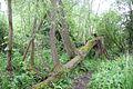 Le Veil arbre de l'étang Saint-Ladre.jpg